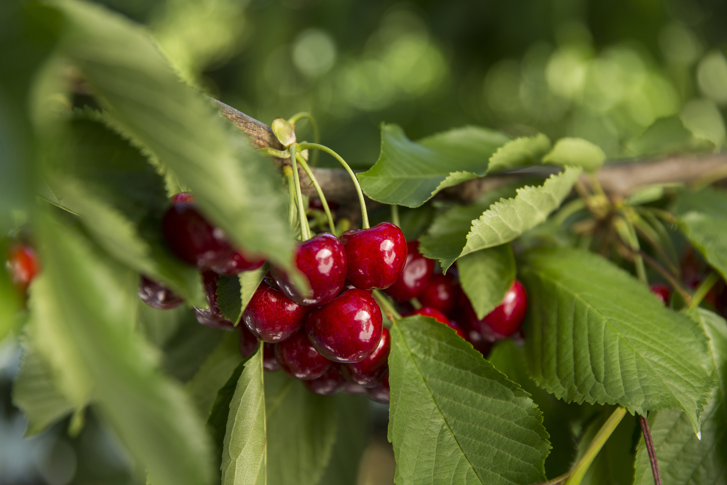Cherries nearing harvest