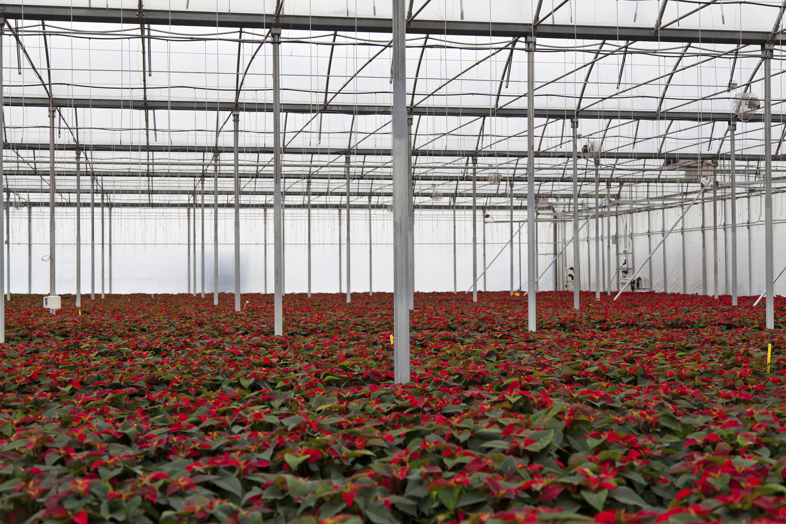 Poinsettia in greenhouse